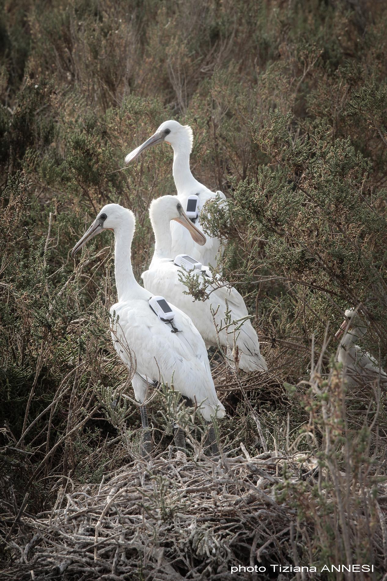 Trois spatules blanches relachées après leur baguage lors de une operation de baguage par un groupe de biologistes, Camargue, France (16/06/2021)